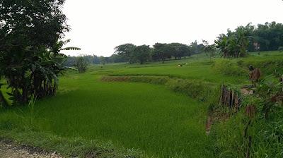 Hamparan Ladang Hijau Desa Siput Ko'olan