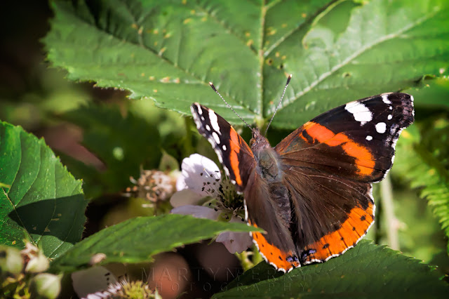 Red admiral butterfly with beautiful colours at Holme Fen Nature Reserve