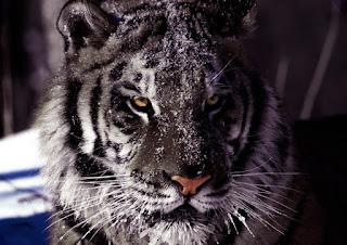 Estes tigres totais ou parcialmente negros, caso existam, são consideradas mutações ou variações, e não uma espécie distinta do tigre de Bengala.
