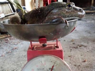 25 Spesies Kodok Raksasa Tersebar Di Indonesia