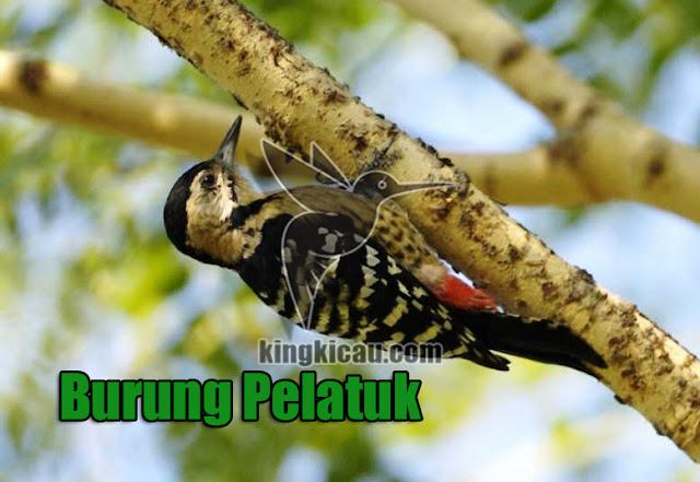 Burung Pelatuk