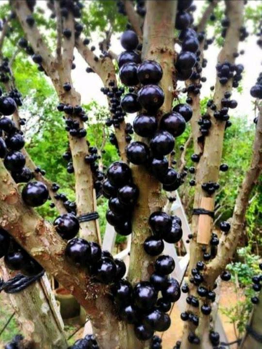 Bibit Anggur Brazil Maluku