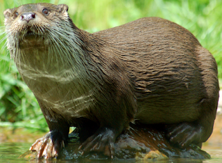 https://fr.wikipedia.org/wiki/Loutre