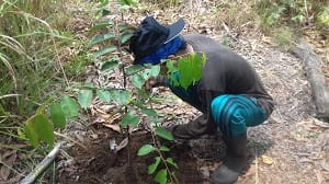 Perawatan tanaman merupakan suatu bentuk tindakan rutin yang menjadi konsekuensi dari arti memelihara tanaman. Perawatan tanaman meliputi kegiatan penyiangan tanaman, pendangiran, penyulaman, penjarangan, dan pemberantasan hama dan penyakit.