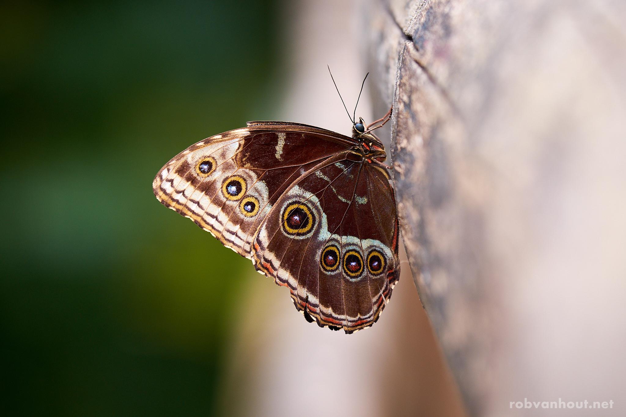 Blue Morpho Butterfly — Rotterdam Blijdorp Zoo