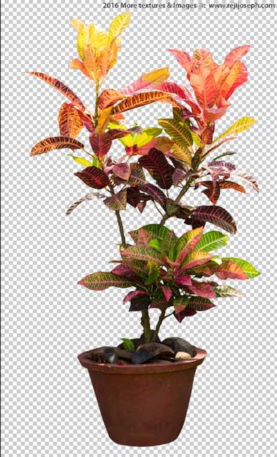 PNG Croton Garden Plant Texture 00001