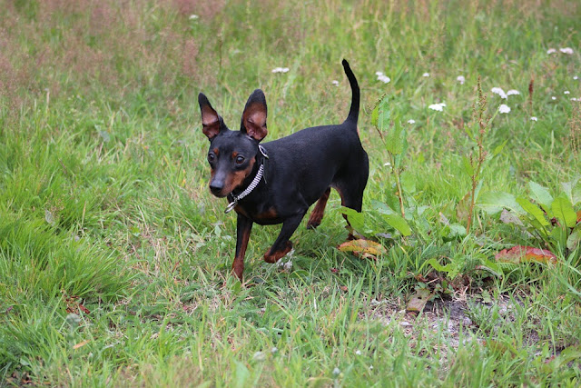pinscher dog 2019