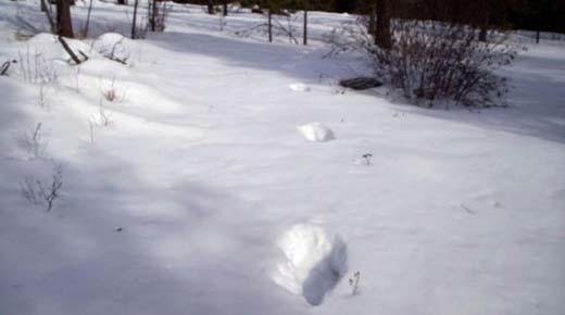 11 Kilómetros de enormes huellas encontradas en Norteamerica