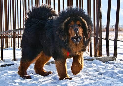 Gaddi Dog Breed Information