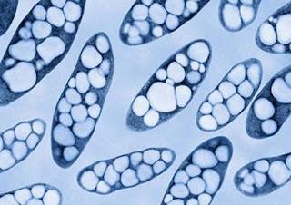 Bakteri hidrogen Cupriavidus necator