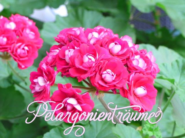 Rosenblüten-magenta-Pelargonienträume