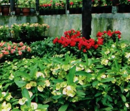 Euphorbia, ngetren di Thailand, baru hijrah ke Indonesia