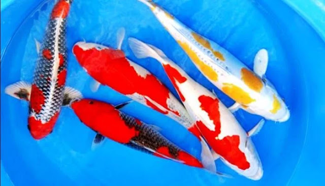 Menarik! Ini Dia Perbedaan Ikan Koi Blitar dan Koi Jepang