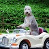 Bedlington Terrier οδηγει... rolls royce
