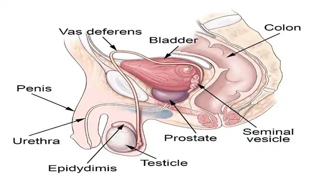 Male Reproductive System The Organs and Functions
