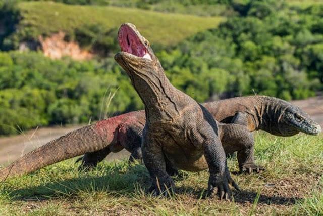 Instead of closing, Komodo dragon island will still welcome visitors