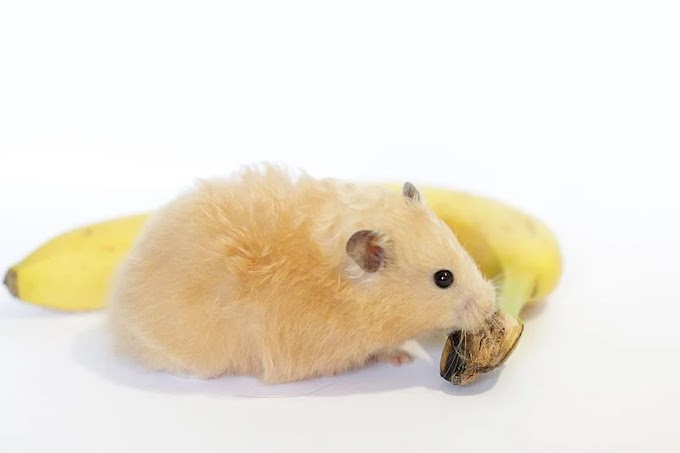 The Best Treat Guide For Hamster Eating Bananas
