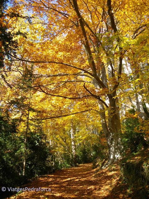 Colors de tardor, les millors fagedes de Catalunya