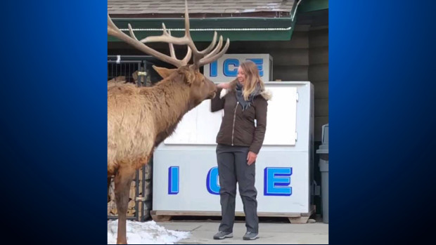 Video Shows Woman Trying To Pet Bull Elk In Estes Park