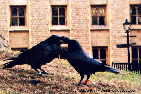 Ravens of the Tower of London in London, England
