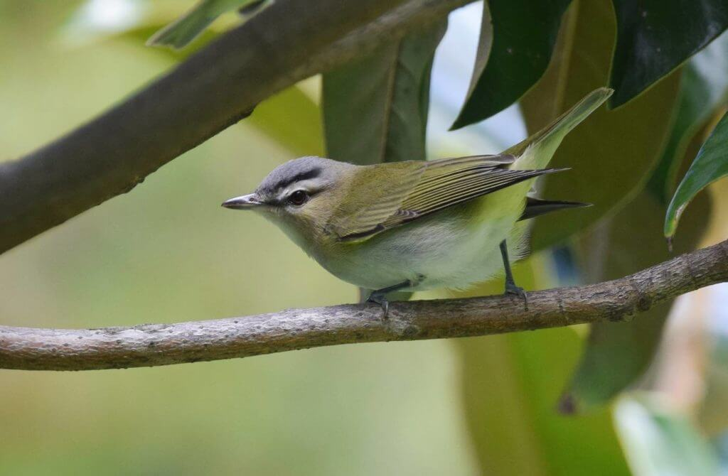 The Red-eyed Vireo (Vireo olivaceus)