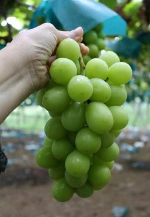 anggur sultan korea dan jepang BIBIT TANAMAN BUAH ANGGUR IMPORT SHINE MUSCHAT Bali