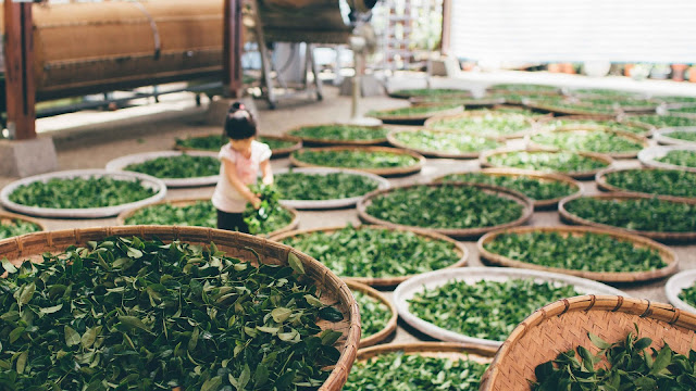 Tea Dust Trading Business Idea - Tea Work Harvest