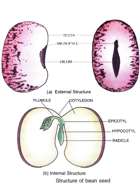 structure of bean seed