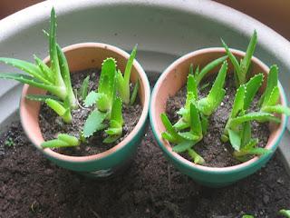 tanaman obat herbal lidah buaya