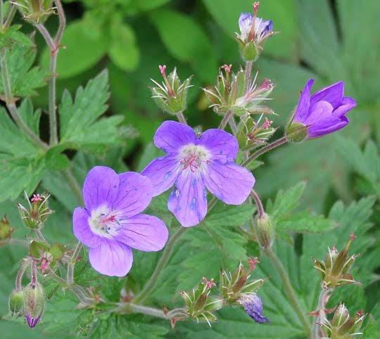 Bodziszek łąkowy (Geranium pratense L.).