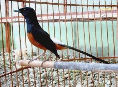 Khasiat Dan Manfaat Dari Pemberian Cacing Untuk Burung Murai Batu Yang Sudah Di Akui
