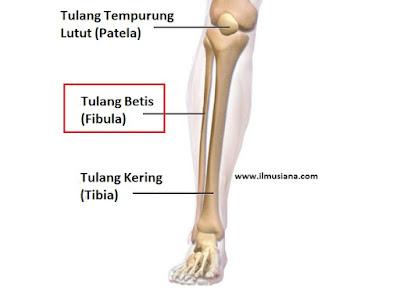 gambar tulang betis fibula