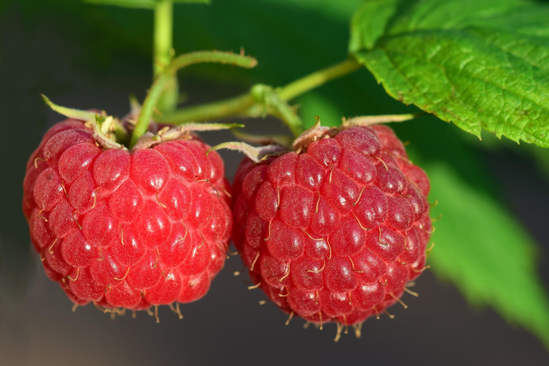 A Few Tips on Planting Raspberries
