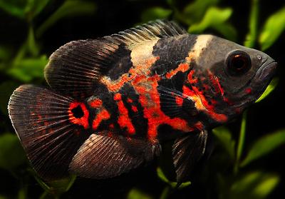 2 Cara Memedakan Ikan Oscar Jantan Dan Betina