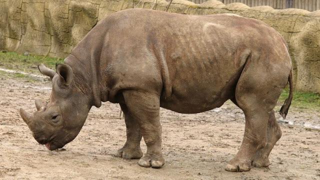 Σπάνιος ρινόκερος πέθανε κατά τη μεταφορά του λίγο πριν αφεθεί ελεύθερος για πρώτη φορά στη ζωή του (pics)