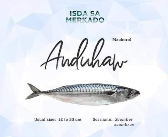 Anduhaw (Mackerel) Scomber scombrus
