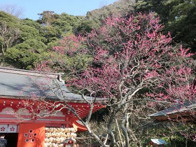 荏柄天神社の寒紅梅