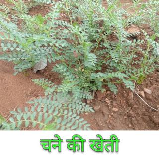 चने की खेती, चने की खेती कैसे करें, चने की खेती की जानकारी, चने की खेती का समय, चने की खेती का वर्णन