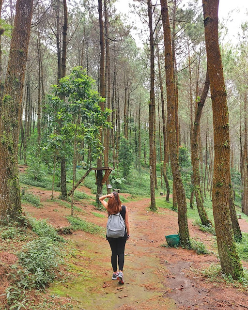 Spot Foto Hutan Pinus Kragilan