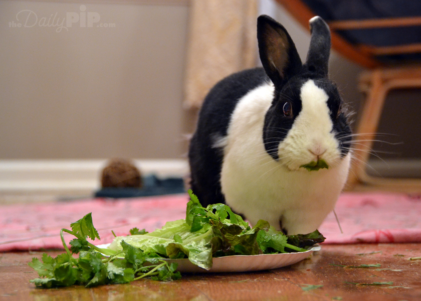 Lulu, the adorable rescued lop rabbit, from The Daily Pip