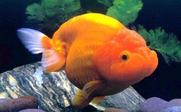 Cá vàng Ranchu: Kỹ thuật chăm sóc cá khỏe và không bị nấm bệnh