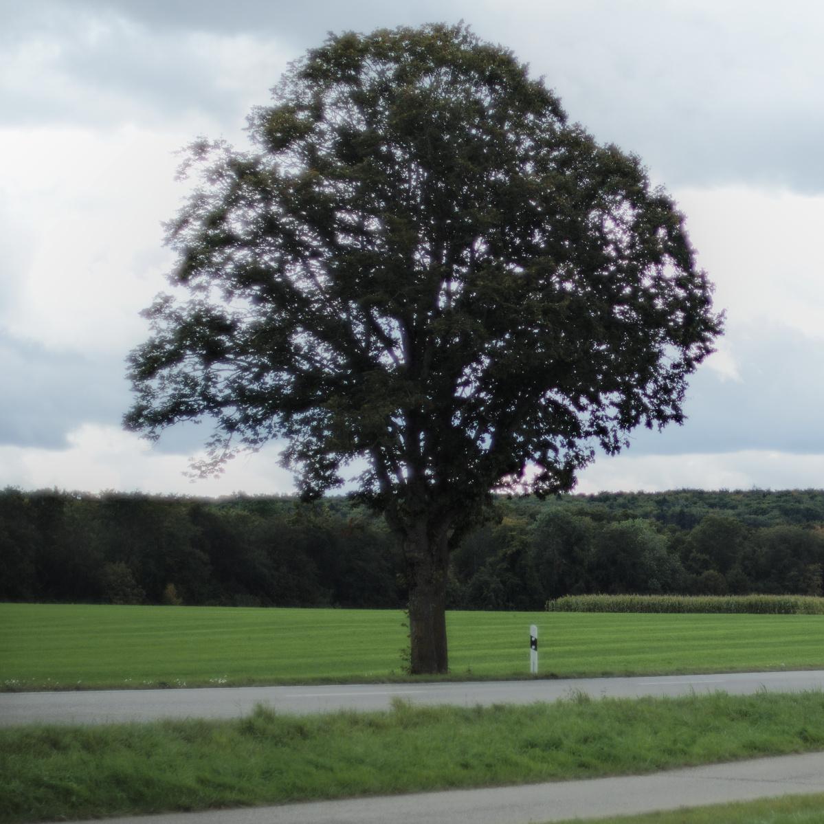 #065 Canon FD SSC f1.2 55mm – Straßenbaum