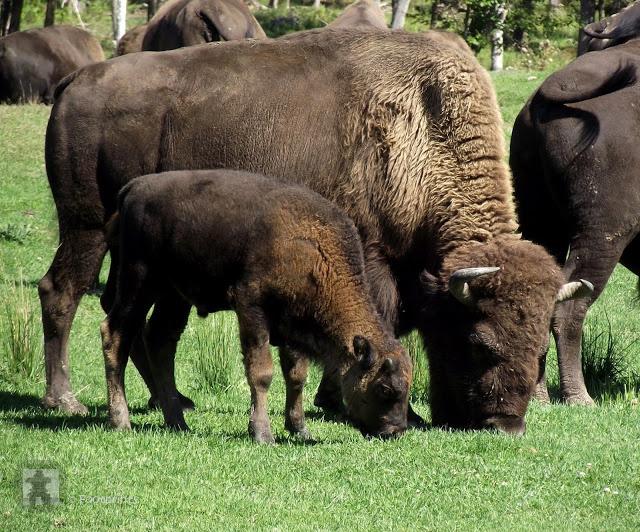 Langsam fahren wir an einer Bison Herde vorbei, die sich von uns nicht stoeren laesst...