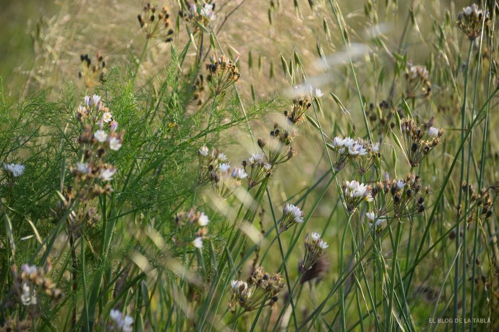 Ajo fragante, allium fragans, flores blancas de planta parecida al ajo pero con fragancia