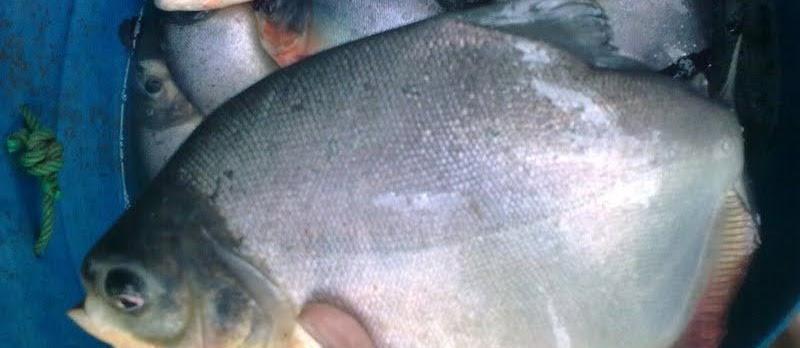 Pengendalian Hama dan Penyakit Ikan Bawal Ampuh