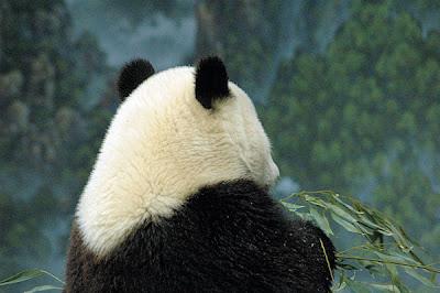 Photo Friday - Panda - February 18, 2011