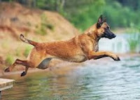 mengenal Anjing Belgian Malinois