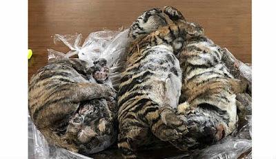Harimau beku yang ditemukan di tempar parkir
