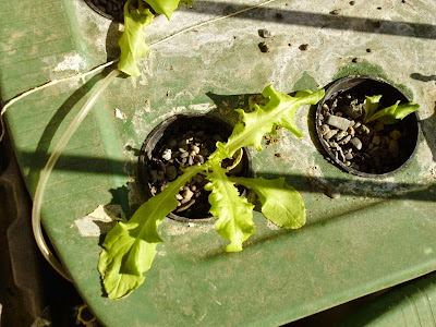 Salad bowl lettuce in hydroponics
