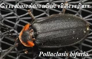 Pollaclasis bifaria